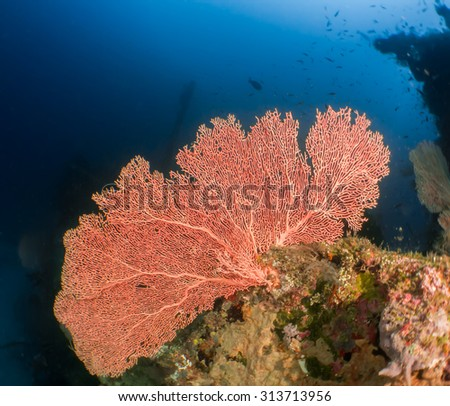 Gorgonia fan coral standing on the wreck - stock photo