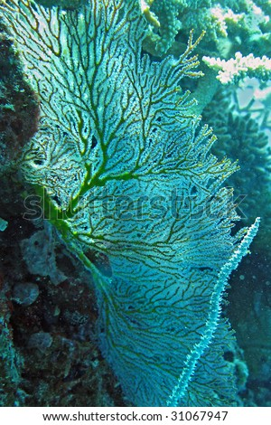 Gorgonian fan - stock photo