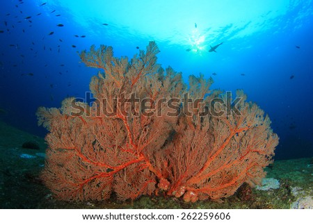 Gorgonian Fan Coral - stock photo