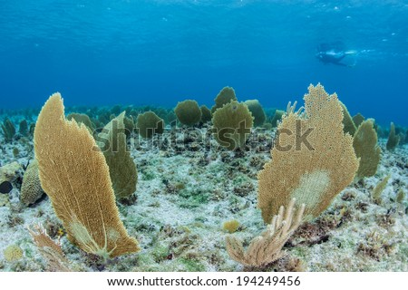 Gorgonians bend back and forth in the light currents that bathe the shallows of Grand Cayman. Sea fans such as these feed on planktonic organisms. - stock photo