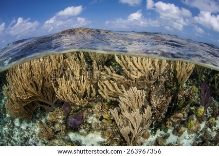Gorgonians grow in the shallows of Turneffe Atoll off the coast of Belize in the Caribbean Sea. Corals like these feed on planktonic organisms that float in ocean currents. - stock photo