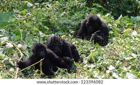 Gorilla baby play on the ground in the forest in Uganda
