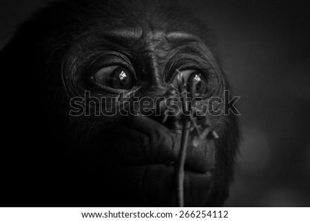 Gorilla baby portrait - stock photo