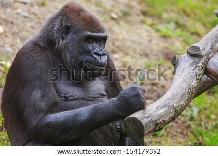 gorilla close up - stock photo