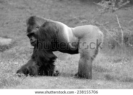 Gorilla constitute the eponymous genus Gorilla,the largest extant genus of primate by physical size.They are ground-dwelling, predominantly herbivorous apes that inhabit the forests of central Africa. - stock photo