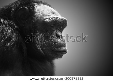 Gorilla dominate male portrait
