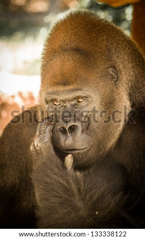 Gorilla from Audubon Zoo - Casey Profile