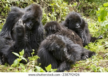 gorilla group in the rain forest of Biwindi Impenetrable National Park, Uganda. . - stock photo