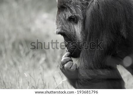 Gorilla in black and white - stock photo