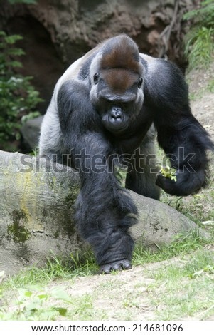 Gorilla in the jungle.  Gorilla is a powerfully built great ape with a large head and short neck, found in the forests of central Africa.