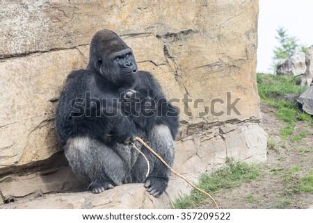 Gorilla monkey - stock photo