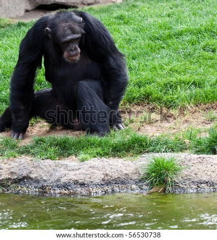 gorilla near water