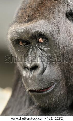 Gorilla Portrait - stock photo