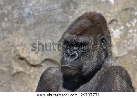 Gorilla portrait in horizontal - stock photo