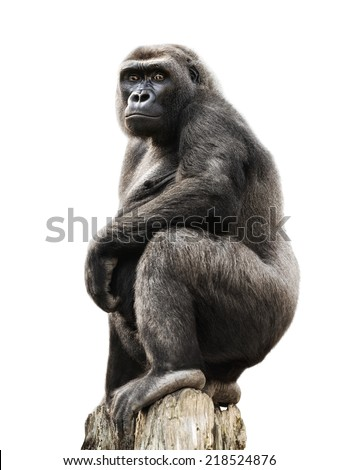 Gorilla proudly standing on a lookout, isolated on pure white - stock photo
