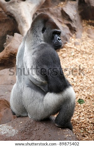 Gorilla siting on a stone in a Tenerife Loro zoo park - stock photo