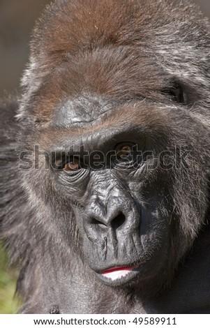 Gorilla stare - stock photo