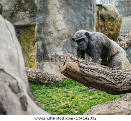 Gorilla walking in the zoo - stock photo