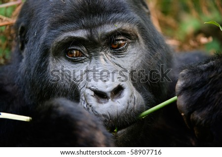 Gorillas are the largest of the living primates. They are ground-dwelling and predominantly herbivorous. They inhabit the forests of central Africa. / Gorilla eating. - stock photo