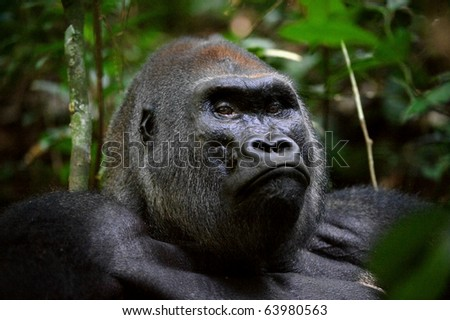 Gorillas are the largest of the primates. - stock photo