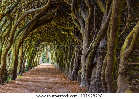 GORMANSTON, IRELAND - SEPTEMBER 29, 2013: Food path down a tunnel of taxus trees. Taxus baccata is a conifer native to western, central and southern Europe. - stock photo