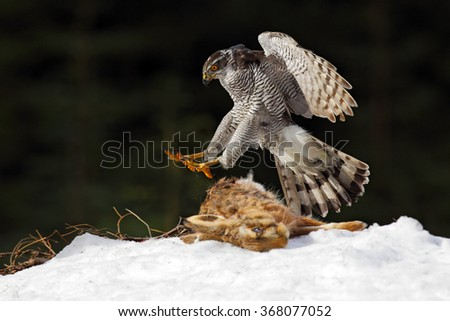 Goshawk, bird of prey kill hare and landing on the snow meadow with open wings, blurred dark forest in background, animal action scene, Sweden - stock photo