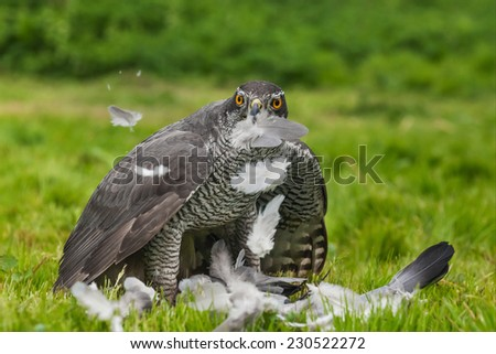 Goshawk feeding on a wood pigeon. A magnificent male goshawk plucks the feathers of a wood pigeon he is about to eat - stock photo