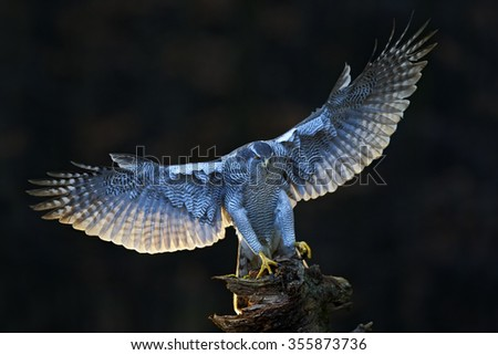 Goshawk, flying bird of prey with open wings with evening sun backlight, nature forest habitat in the background, landing on tree trunk, Norway - stock photo