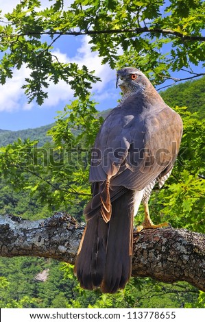 Goshawk perched on a tree in forest.