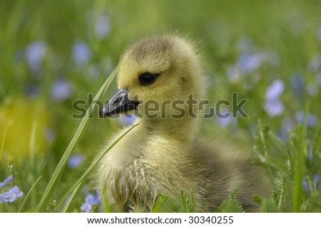 Gosling - stock photo