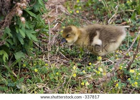 Gosling walking on the grass.
