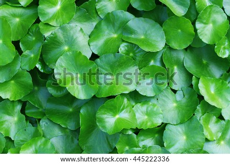 Gotu kola, Centella asiatica, Asiatic pennywort, green leaf background. - stock photo