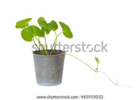 gotu kola leafs,gotu kola in black pot on white background
