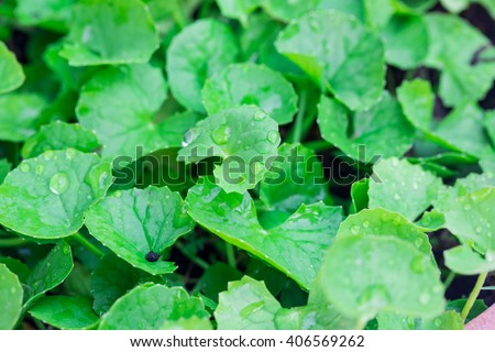 gotu kola leaved - stock photo