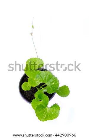 gotu kola leaves on white background - stock photo
