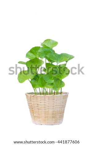 gotu kola leaves on white background,gotu kola in basket on white background - stock photo