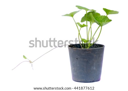 gotu kola leaves on white background,gotu kola in black pot on white background - stock photo
