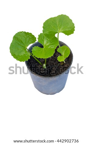 gotu kola leaves on white background,gotu kola in black pot on whitw background - stock photo