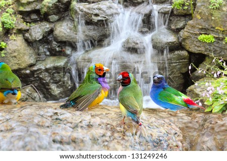 Gouldian Finch Colorful Birds Taking a Bath Near the Waterfall - stock photo