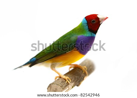 Gouldian Finch - Erythrura gouldiae in front of a white background - stock photo