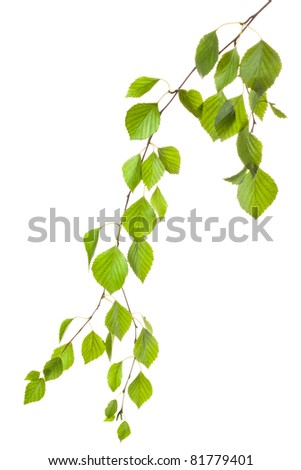 Graceful birch twig in backlight. Isolated on white - stock photo