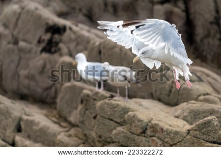 Graceful seagull going to land on the rocky shore - stock photo