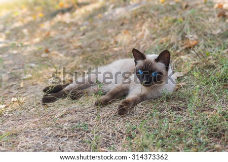 Graceful Siamese cat with blue eyes lying on the earth at warm autumnal day - stock photo