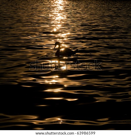 Graceful Swan on a golden lake - stock photo