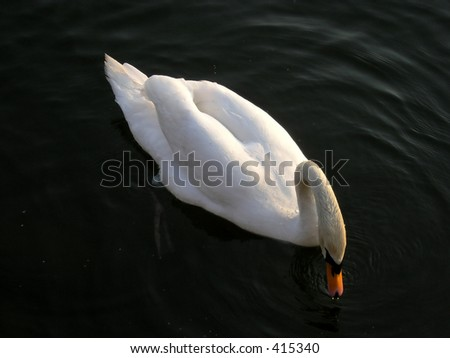 Graceful swimming swan at sunset in Hamilton Bay Lake Ontario. Very noticeable is the dirty white color of the swan head and neck. It is result of the human activities in polluted the water.