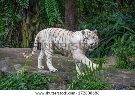Graceful white tiger among tropical greenery. Canon 5D Mk II.