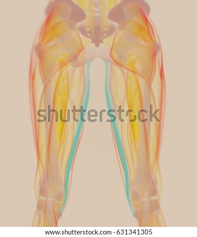 Gracilis Muscle Female Muscle Anatomy 3 D Stock Illustration ...