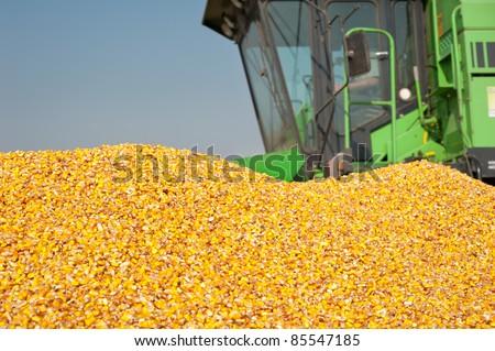 grain corn closeup on field - stock photo