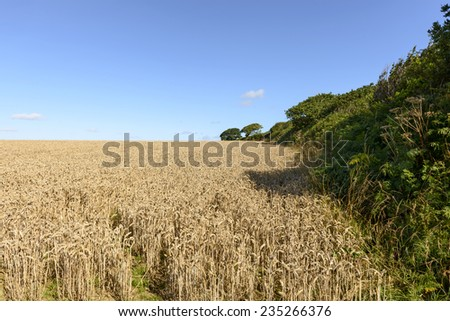 grain field and hedge , Cornwall,  landscape with field of ripe grain cultivation with a green hedge in hilly country, shot in summer bright light  - stock photo