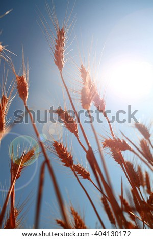 Grain field detail, lens flare and blue sky